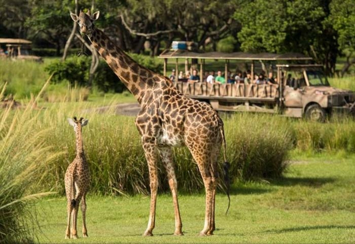 Watch! A Giraffe Gave Birth at Walt Disney World in Front of the Most Surprised Safari Ride Guests