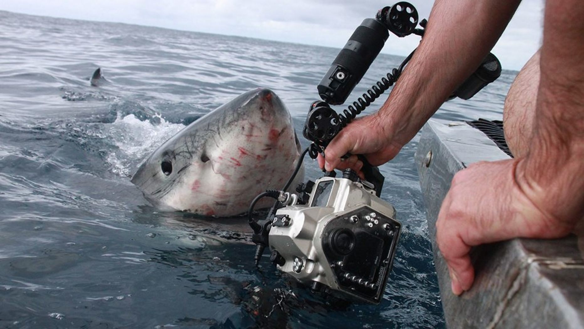 Real life Jaws? Photographer captures terrifying great white images