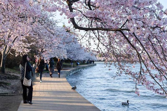 How cherry blossoms came to the United States