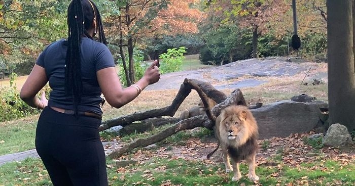 Bronx Zoo says woman who climbed inside lion exhibit could have been killed
